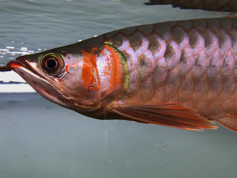 养了三个月的三无小红龙请大神指教 西安观赏鱼信息 西安博特第6张