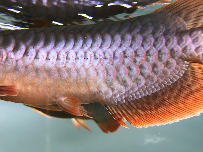 养了三个月的三无小红龙请大神指教 西安观赏鱼信息 西安博特第5张