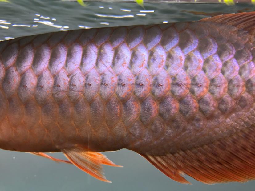 养了三个月的三无小红龙请大神指教 西安观赏鱼信息 西安博特第7张