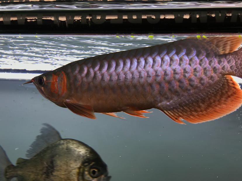 养了三个月的三无小红龙请大神指教 西安观赏鱼信息 西安博特第8张