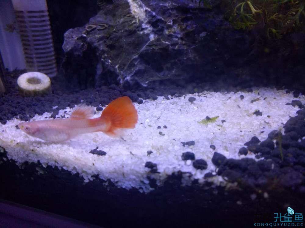 只生一只是被吃了还是还会再生? 西安观赏鱼信息 西安博特第1张