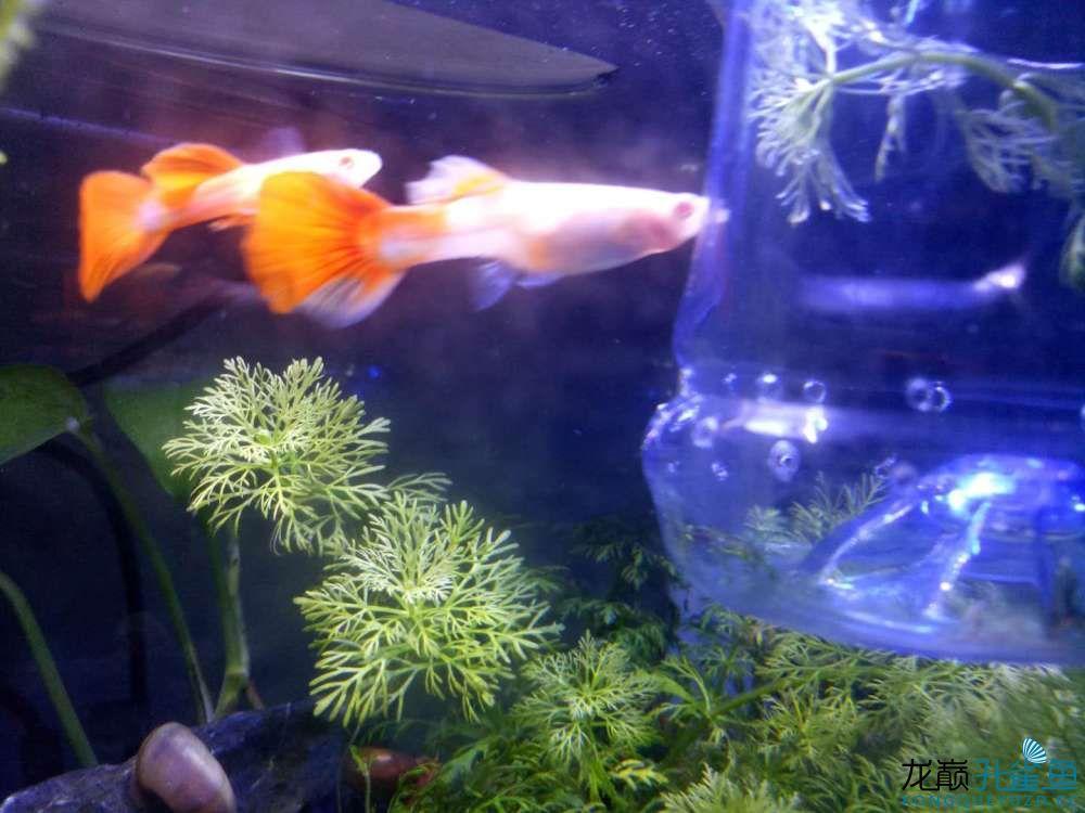 只生一只是被吃了还是还会再生? 西安观赏鱼信息 西安博特第3张