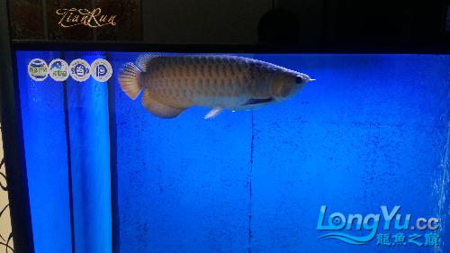 看看我的鱼有要是吗 西安龙鱼论坛 西安博特第1张