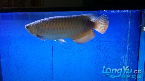 看看我的鱼有要是吗 西安龙鱼论坛 西安博特第2张