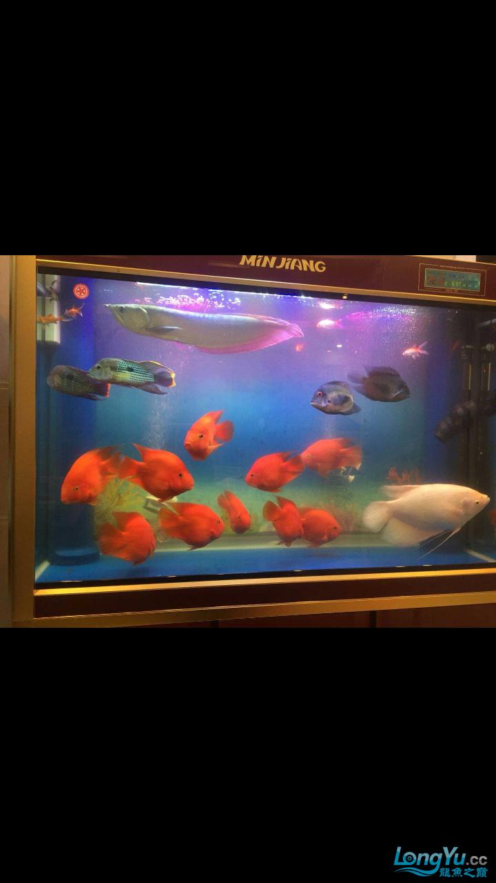我的新年愿望是广州锦麟渔场特级重金属红龙 西安观赏鱼信息 西安博特第2张