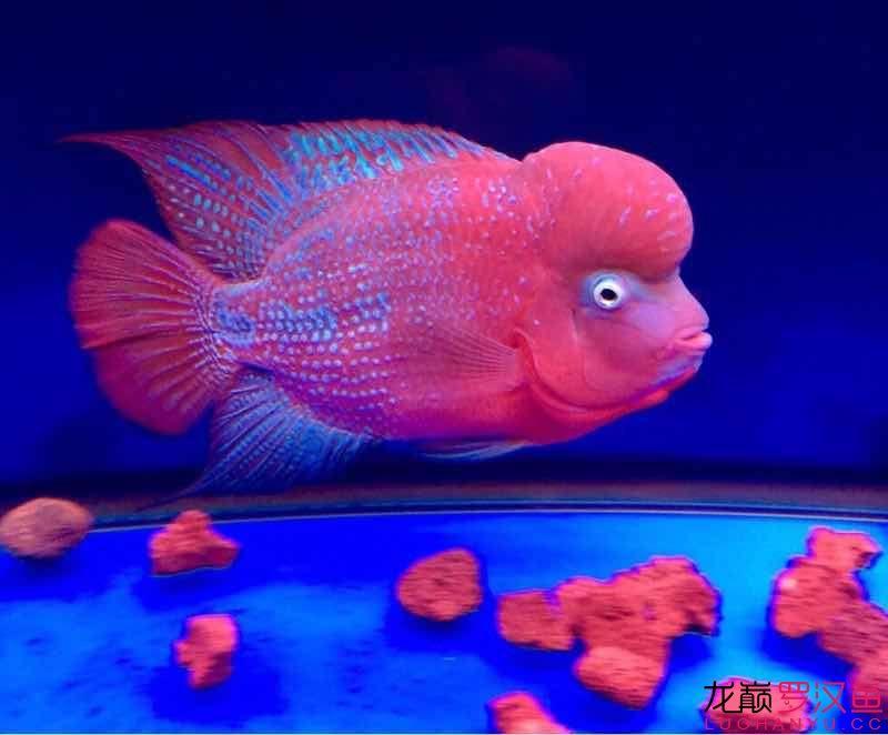 好像该减肥了 西安观赏鱼信息 西安博特第3张