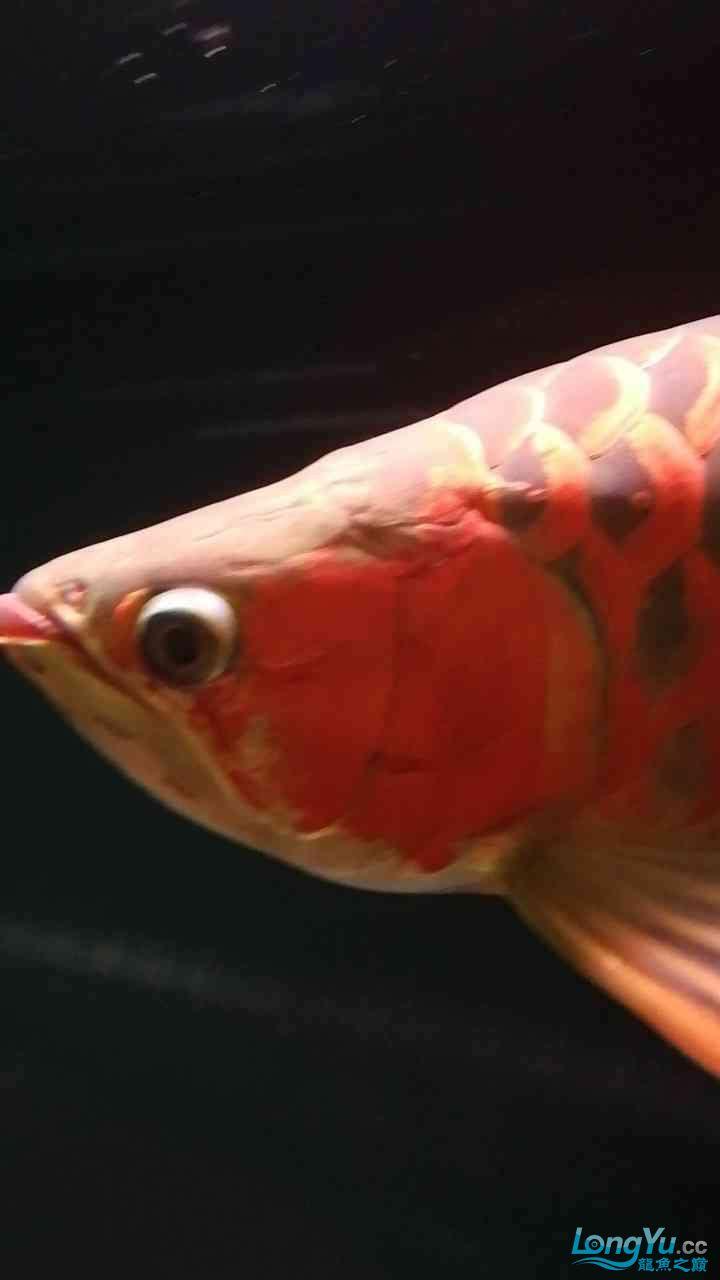 两岁多的龙鱼 西安龙鱼论坛 西安博特第1张
