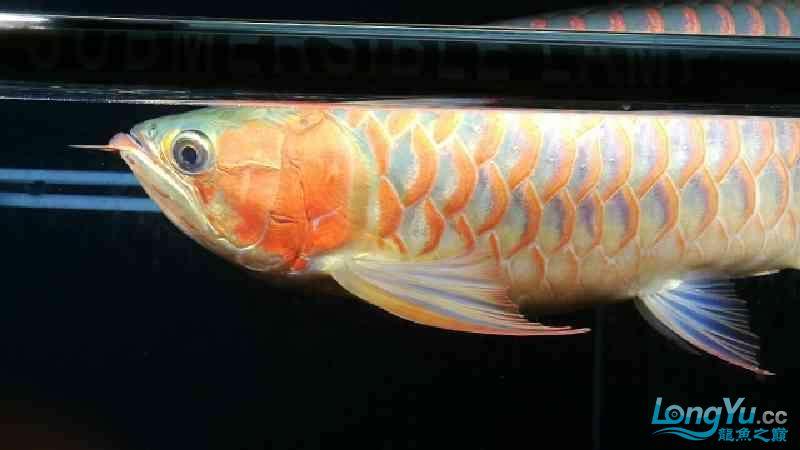两岁多的龙鱼 西安龙鱼论坛 西安博特第4张