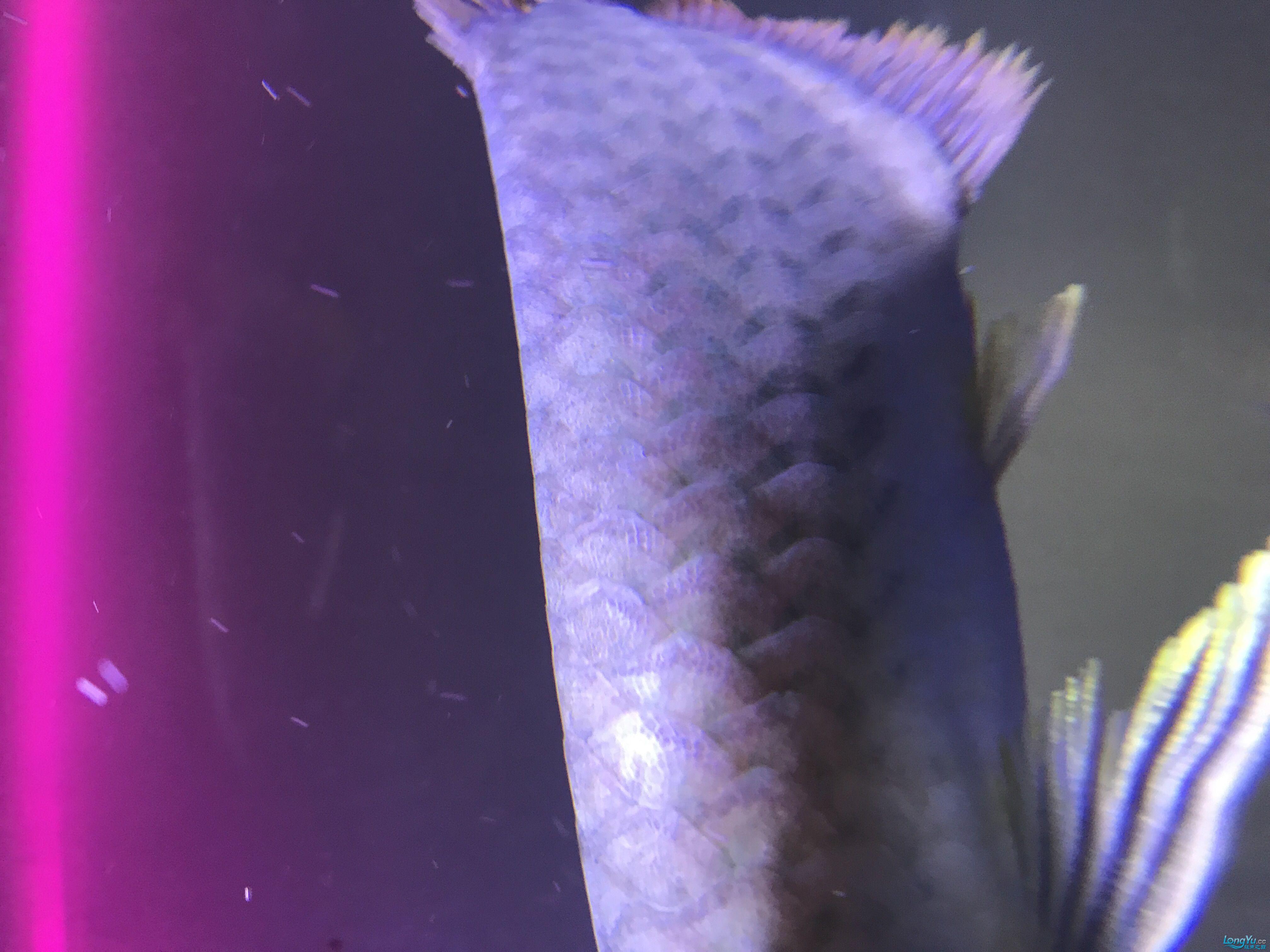 我的这条半号是怎么了各位大神帮我看看 西安龙鱼论坛 西安博特第2张