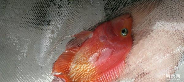感觉这个需要纪念一下 西安观赏鱼信息 西安博特第2张