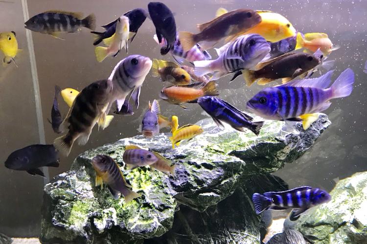 活泼欢快的岩栖 西安观赏鱼信息 西安博特第3张