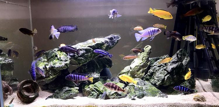 活泼欢快的岩栖 西安观赏鱼信息 西安博特第5张