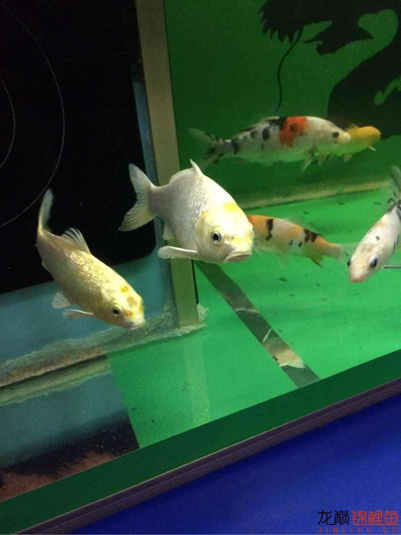 业余爱好土炮 西安观赏鱼信息 西安博特第6张
