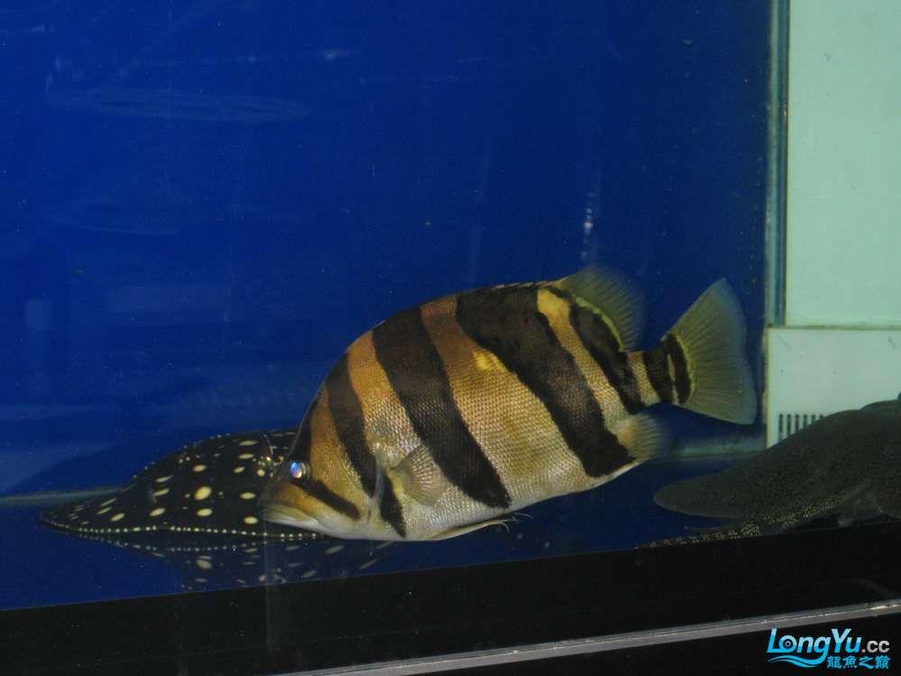 【西安大花恐龙】新年愿望+鱼勇想得龙鱼 西安观赏鱼信息 西安博特第1张