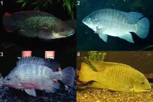 我爱罗非鱼纯分享 西安观赏鱼信息 西安博特第1张
