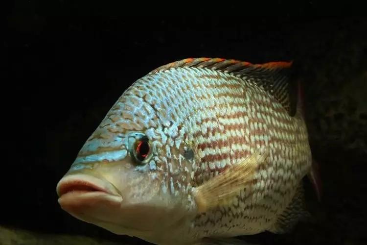我爱罗非鱼纯分享 西安观赏鱼信息 西安博特第3张