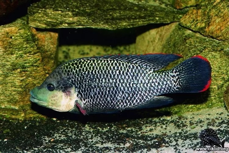 我爱罗非鱼纯分享 西安观赏鱼信息 西安博特第2张