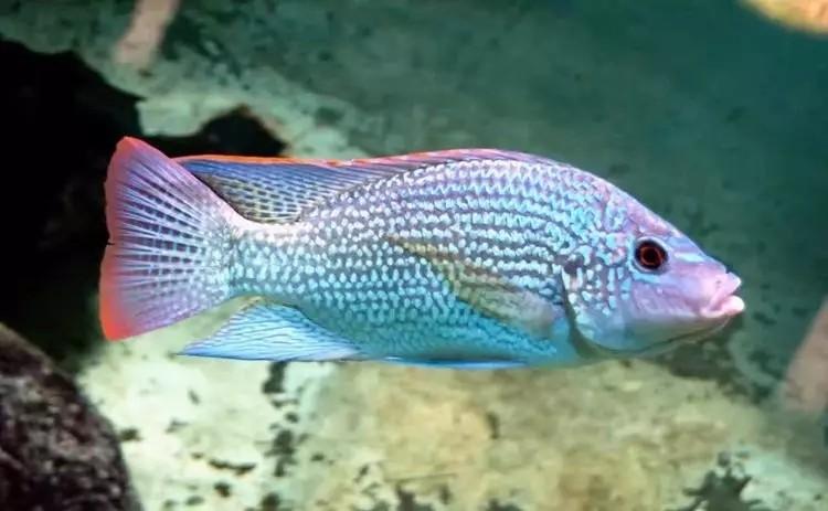 我爱罗非鱼纯分享 西安观赏鱼信息 西安博特第5张