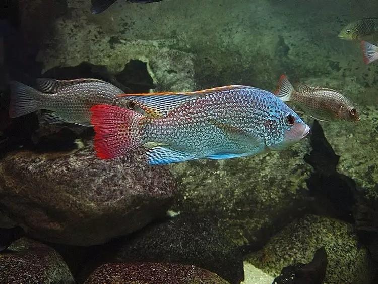 我爱罗非鱼纯分享 西安观赏鱼信息 西安博特第6张