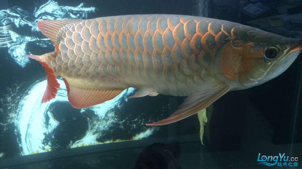 新年愿望多得一个徽章就行啦 西安观赏鱼信息 西安博特第2张
