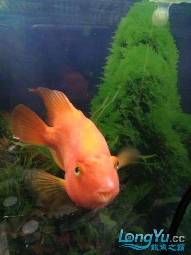 【西安红木实木鱼缸】鹦鹉的左眼突出是什么问题???? 西安龙鱼论坛 西安博特第1张