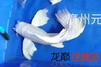 【西安四纹虎】蝴蝶龙鲤系统种鱼的必要性