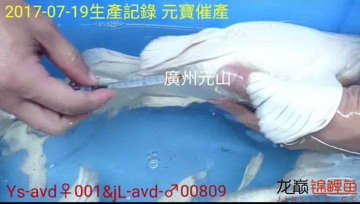 【西安四纹虎】蝴蝶龙鲤系统种鱼的必要性 西安龙鱼论坛 西安博特第4张