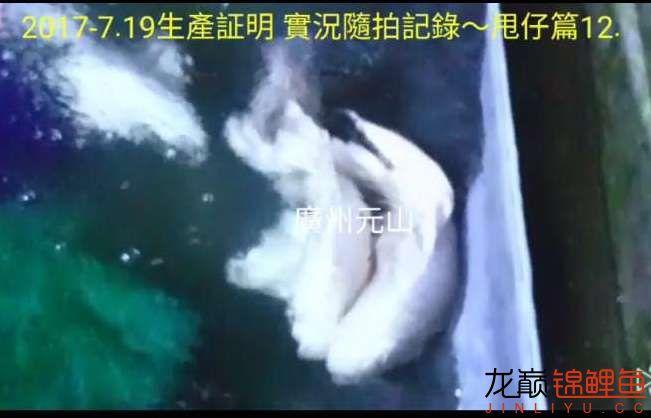 【西安四纹虎】蝴蝶龙鲤系统种鱼的必要性 西安龙鱼论坛 西安博特第5张