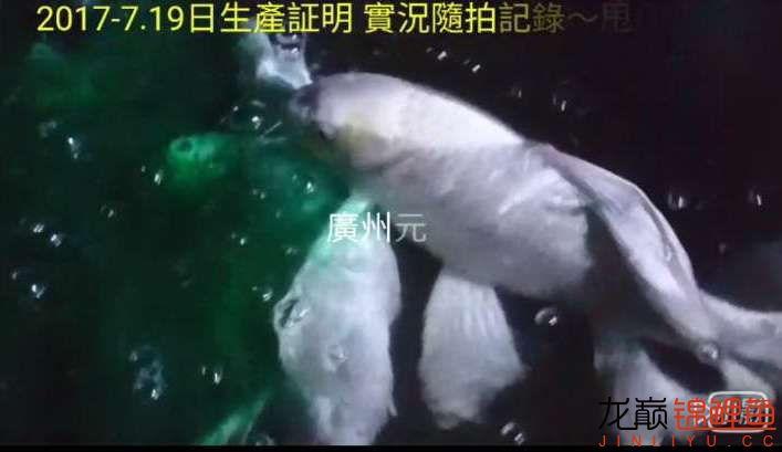 【西安四纹虎】蝴蝶龙鲤系统种鱼的必要性 西安龙鱼论坛 西安博特第7张