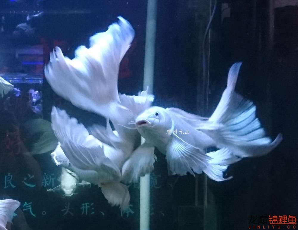 【西安四纹虎】蝴蝶龙鲤系统种鱼的必要性 西安龙鱼论坛 西安博特第8张