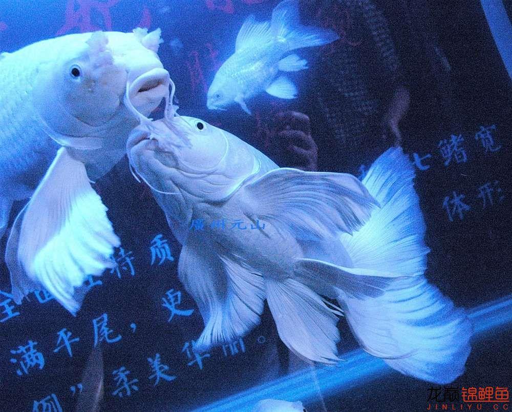 【西安四纹虎】蝴蝶龙鲤系统种鱼的必要性 西安龙鱼论坛 西安博特第9张