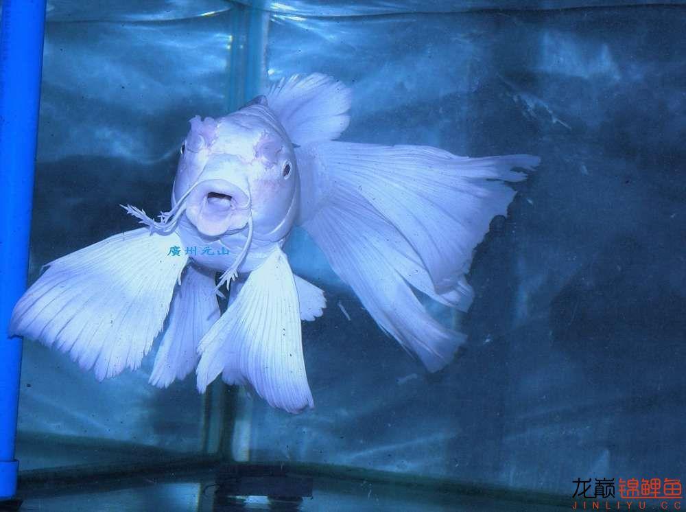 【西安四纹虎】蝴蝶龙鲤系统种鱼的必要性 西安龙鱼论坛 西安博特第10张