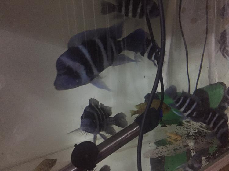 新年愿望+萨伊蓝 西安观赏鱼信息 西安博特第6张
