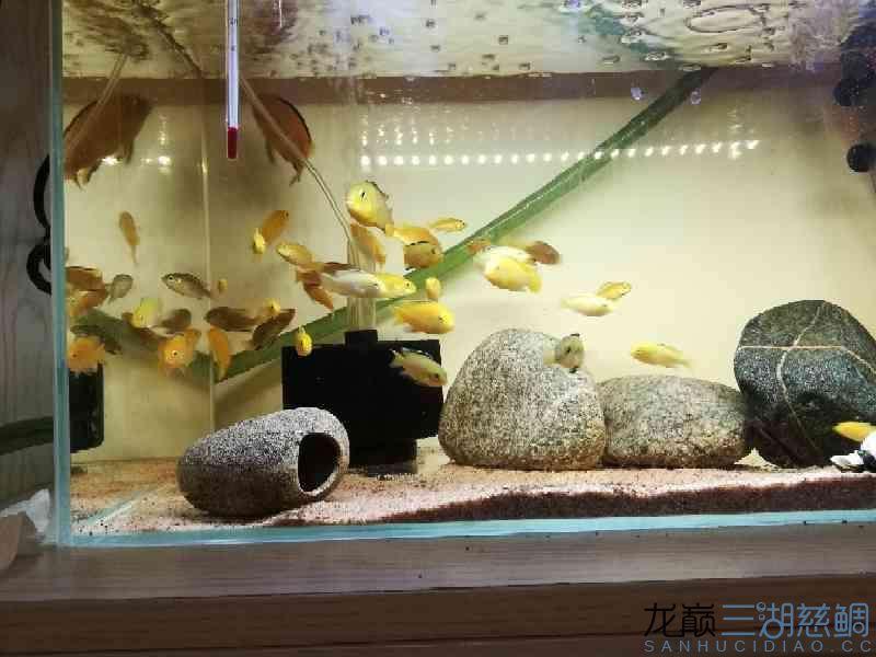 超级黄 西安龙鱼论坛 西安博特第1张