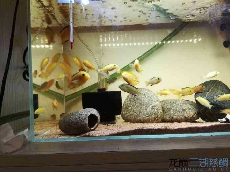 超级黄 西安龙鱼论坛 西安博特第5张