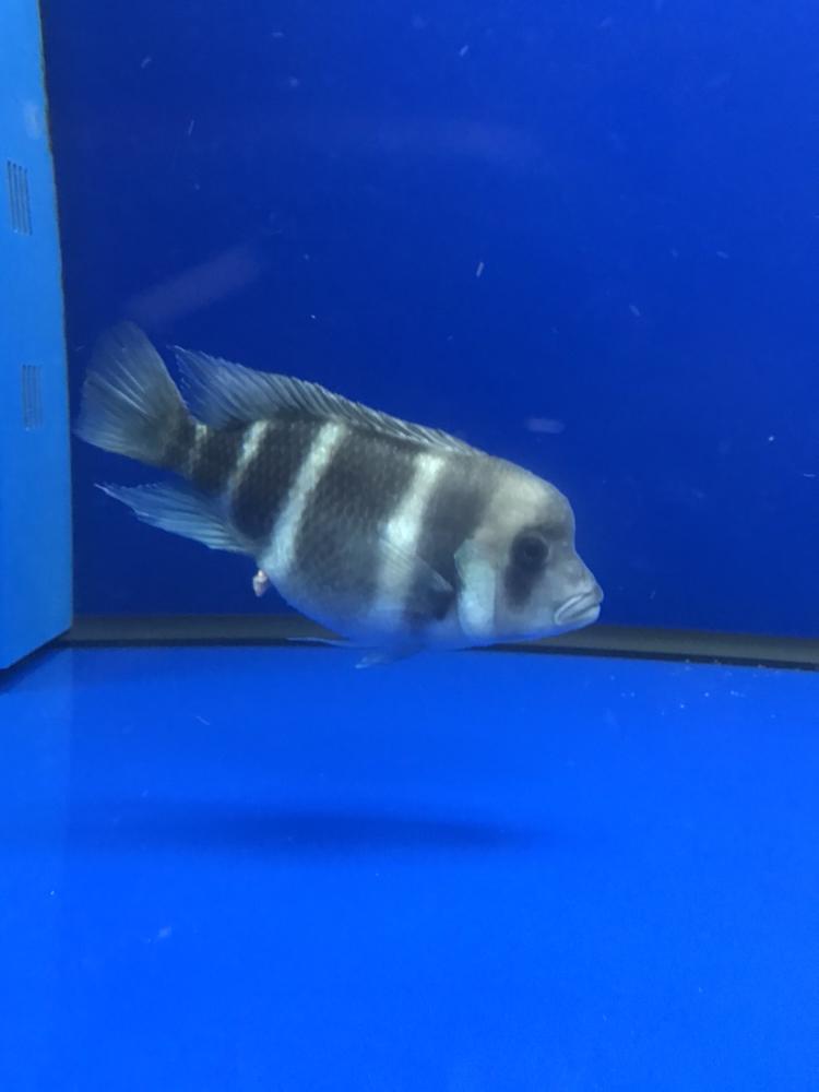 【西安水族馆鱼缸租赁】这是产卵了吗?求助