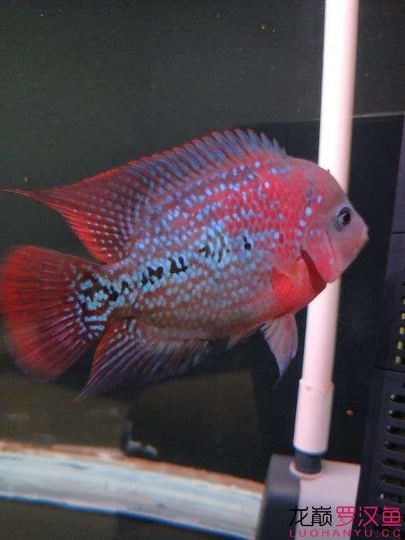 大家给看看怎么样现在也就十厘米多点吧 西安观赏鱼信息 西安博特第1张