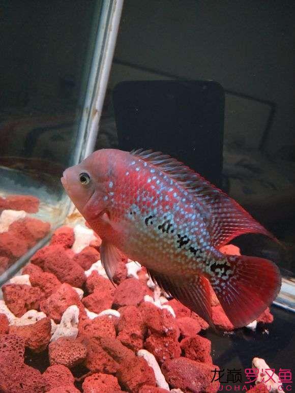 大家给看看怎么样现在也就十厘米多点吧 西安观赏鱼信息 西安博特第2张