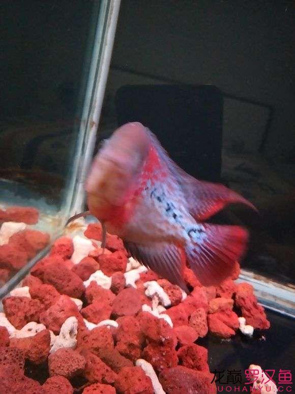 大家给看看怎么样现在也就十厘米多点吧 西安观赏鱼信息 西安博特第3张