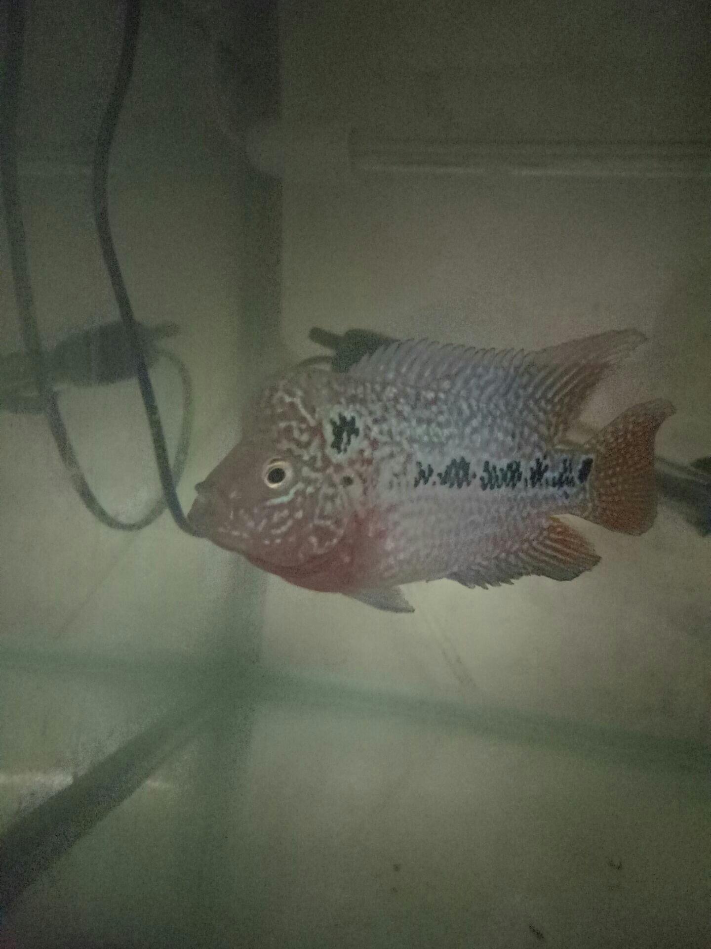 【西安三纹虎】试一下绿水养罗汉效果咋样 西安观赏鱼信息 西安博特第3张