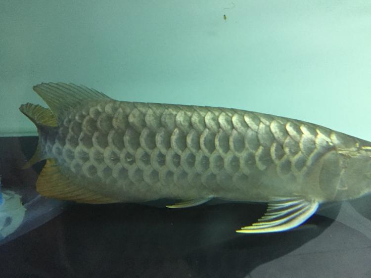 早上看鱼发现感冒了翘鳞 西安观赏鱼信息 西安博特第1张