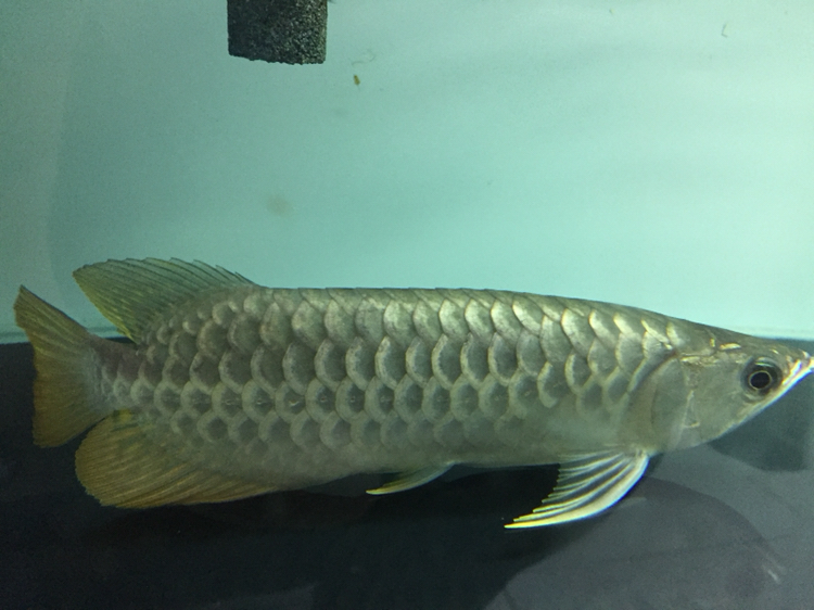 早上看鱼发现感冒了翘鳞 西安观赏鱼信息 西安博特第2张