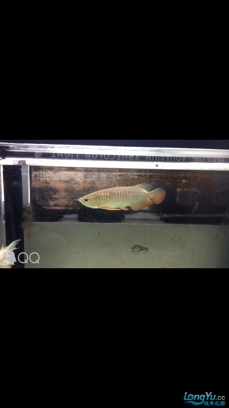 沧州黄骅地区出25高背 西安观赏鱼信息 西安博特第1张