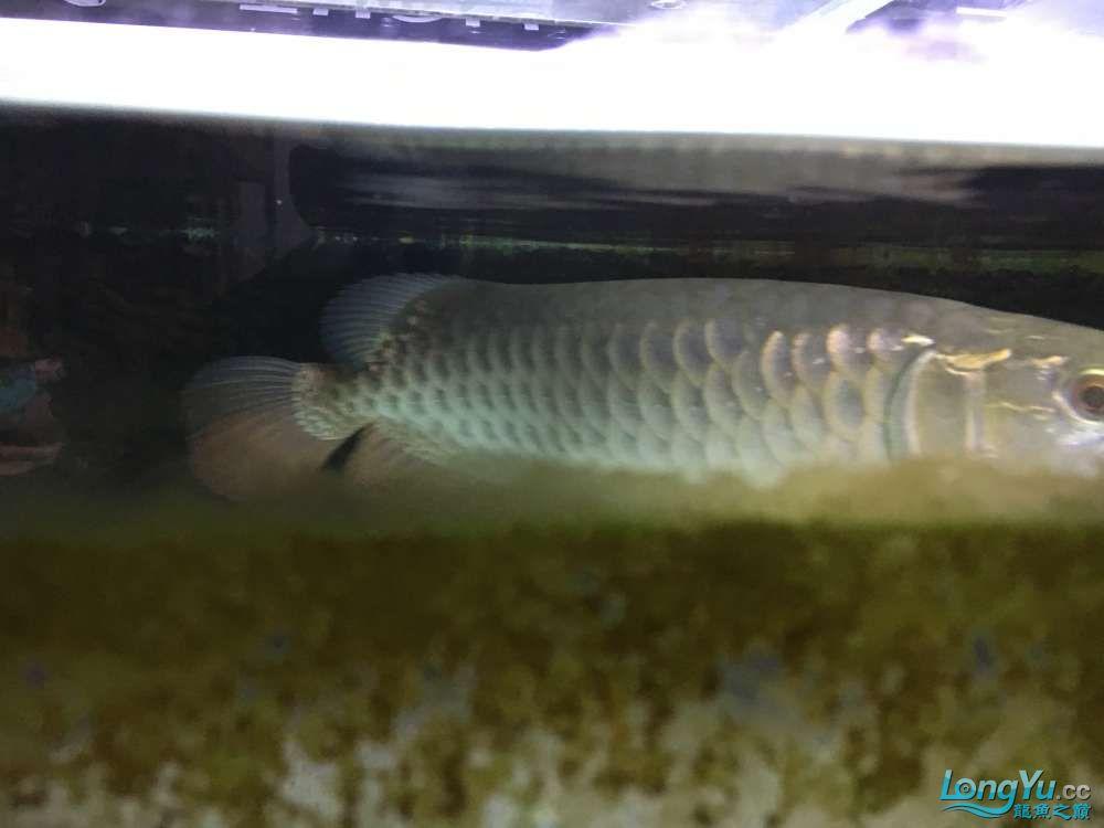 沧州黄骅地区出25高背 西安观赏鱼信息 西安博特第2张
