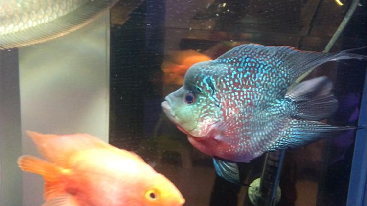 【西安水族批发】快3个月了都长大了见证你们的成长 西安观赏鱼信息 西安博特第3张