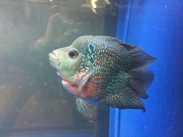 【西安水族批发】快3个月了都长大了见证你们的成长 西安观赏鱼信息 西安博特第2张
