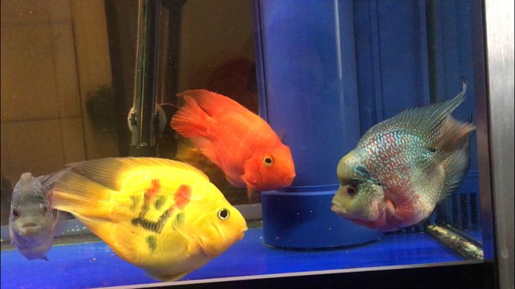 【西安水族批发】快3个月了都长大了见证你们的成长 西安观赏鱼信息 西安博特第4张