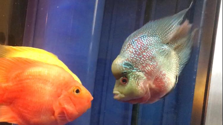 【西安水族批发】快3个月了都长大了见证你们的成长 西安观赏鱼信息 西安博特第5张