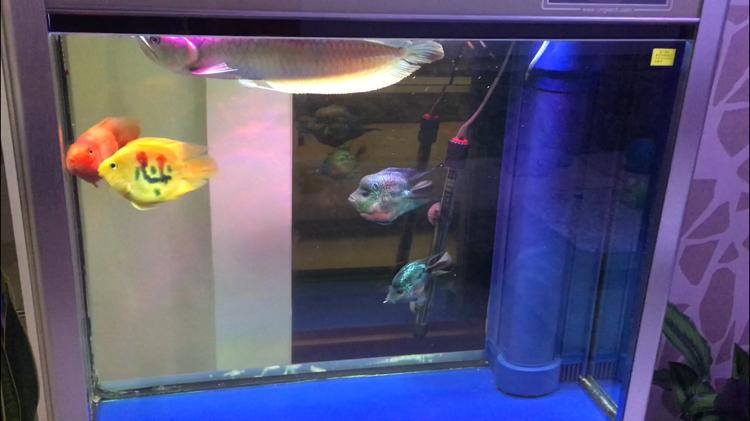 【西安水族批发】快3个月了都长大了见证你们的成长 西安观赏鱼信息 西安博特第6张