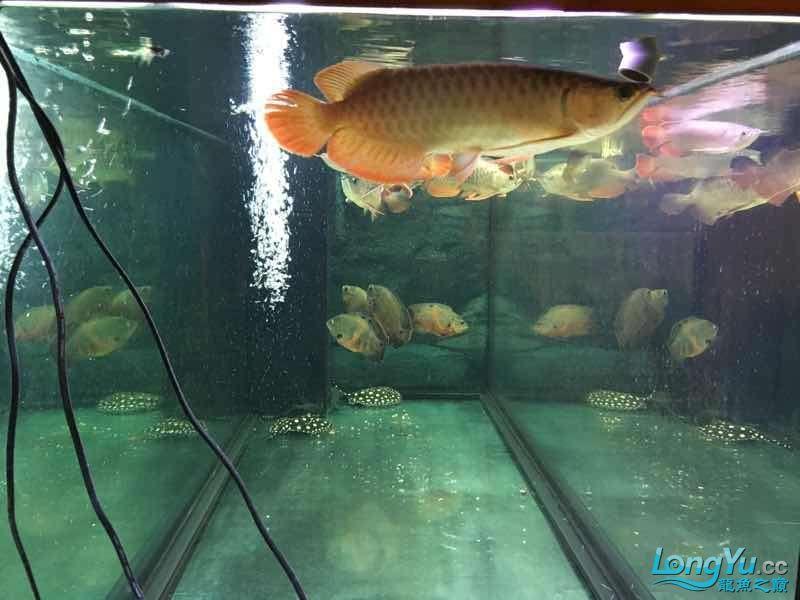 九龙四猪三魟 西安观赏鱼信息 西安博特第5张